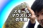 【基礎】スモールマウスバスの生態【基本】