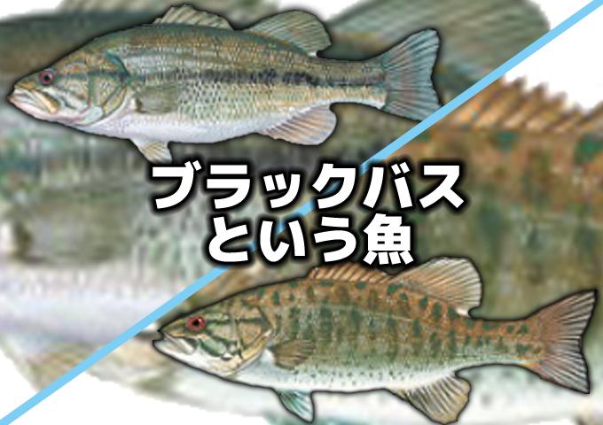 ブラックバスという魚と釣り