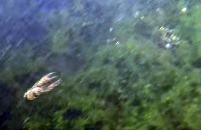 ザリガニを襲うスモールマウスバス