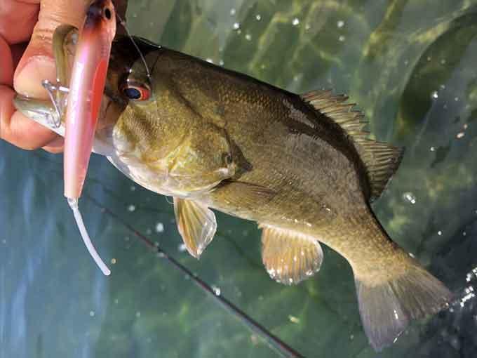 5月の野尻湖おかっぱり:釣れるティムコ・デルゼ70F