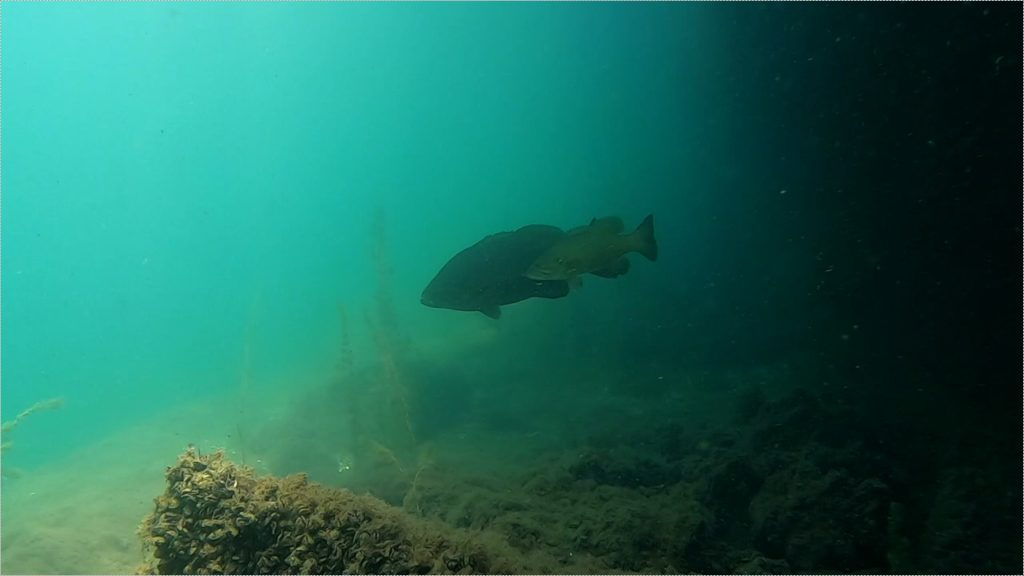 【小ネタ】スモールマウスバスと一緒に泳ぐ【水中映像】