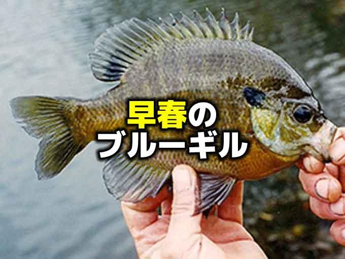 早春のブルーギルを探す【バス釣りとベイトの関係】